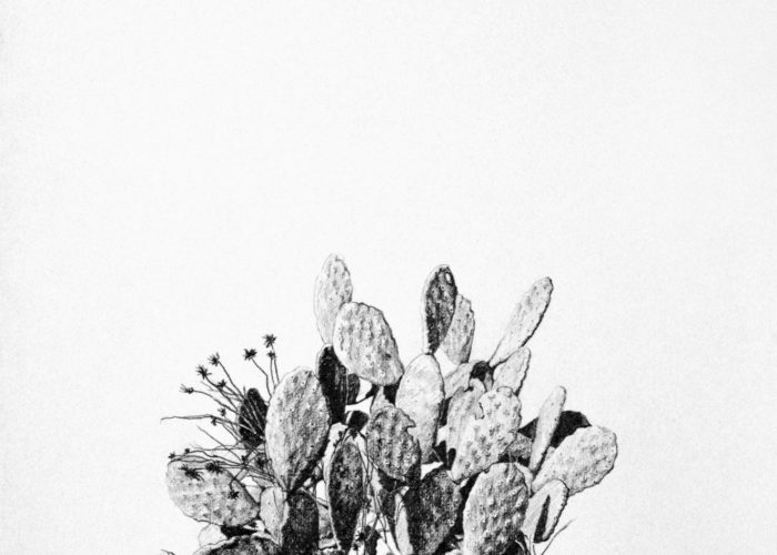 Prickly Pear, drawing. Graphite on Arches Paper, by artist Neva Bergemann
