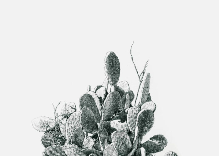 Prickly Pear 2, black & white drawing. Graphite on Arches Paper, by artist Neva Bergemann
